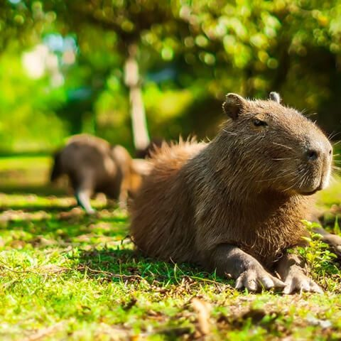 capybaras-laying-on-the-grass
